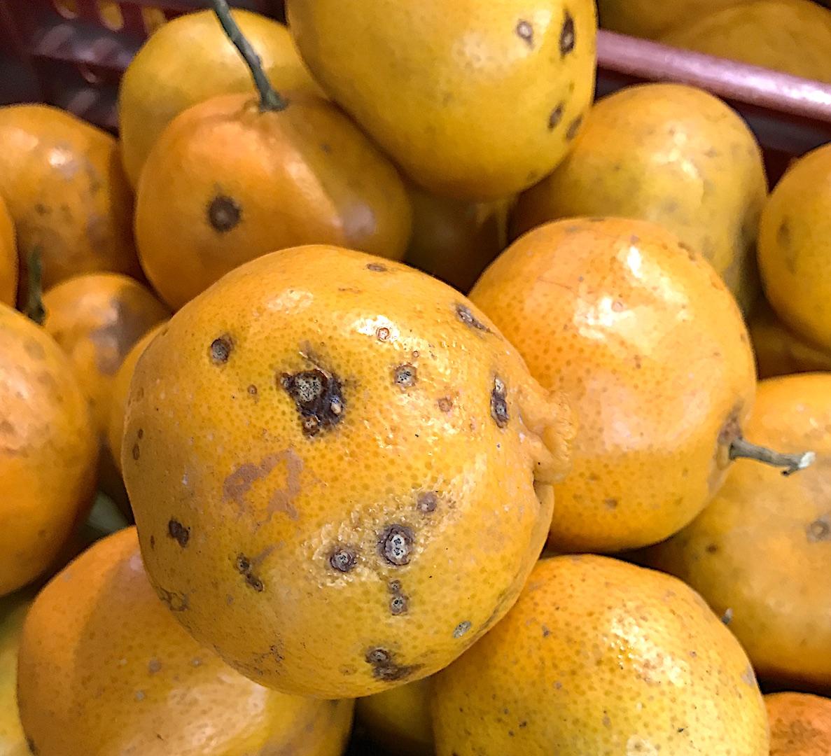 Mancha Preta dos Citros em tangerina