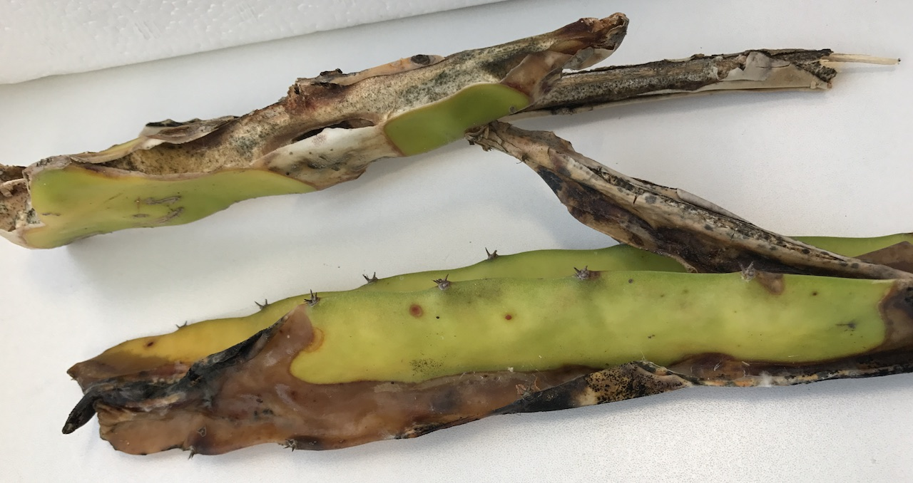 Anthracnose of pitaya (Hylocereus undatus) by Colletotrichum gloeosporioides
