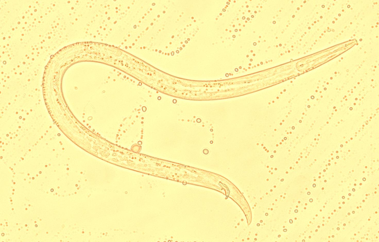 Aphlenchoides sp. em amostra de raízes de cafeeiro com solo
