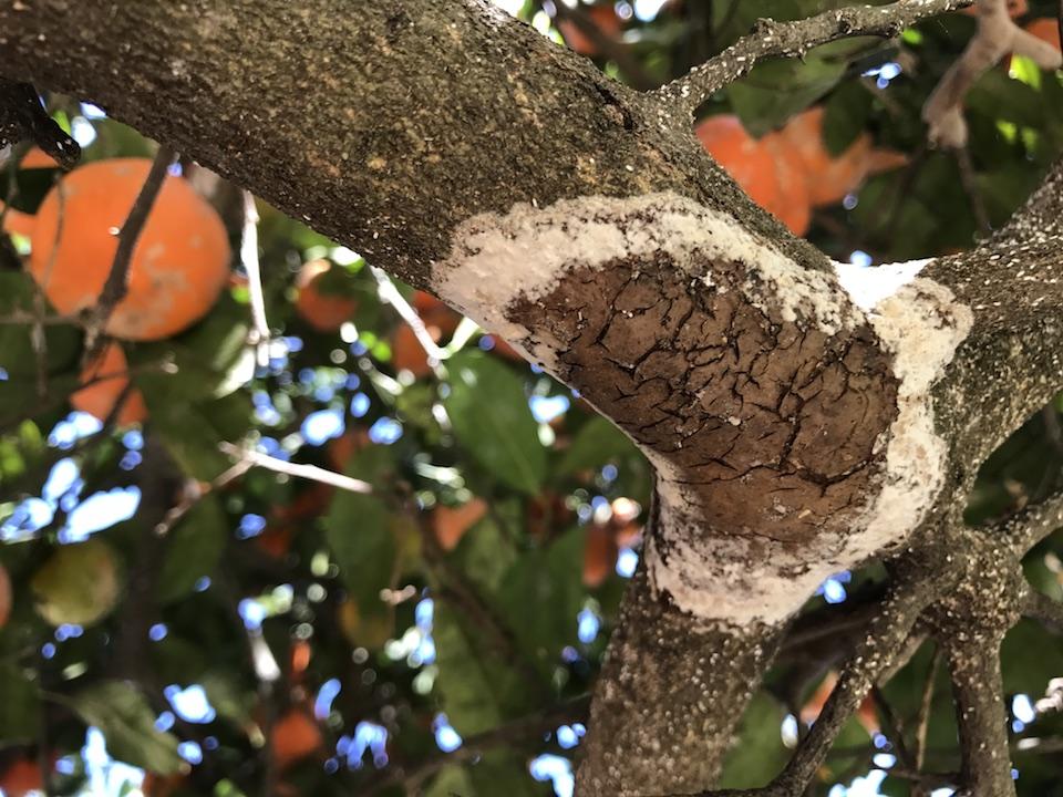 Feltro ou camurça / Felt disease (Septobasidium sp.) em limoeiro-cravo