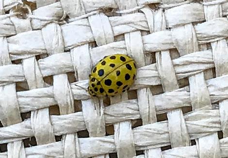 Joaninha, Ladybird, Psyllobora vigintiduopunctata L. (Coccinellidae)
