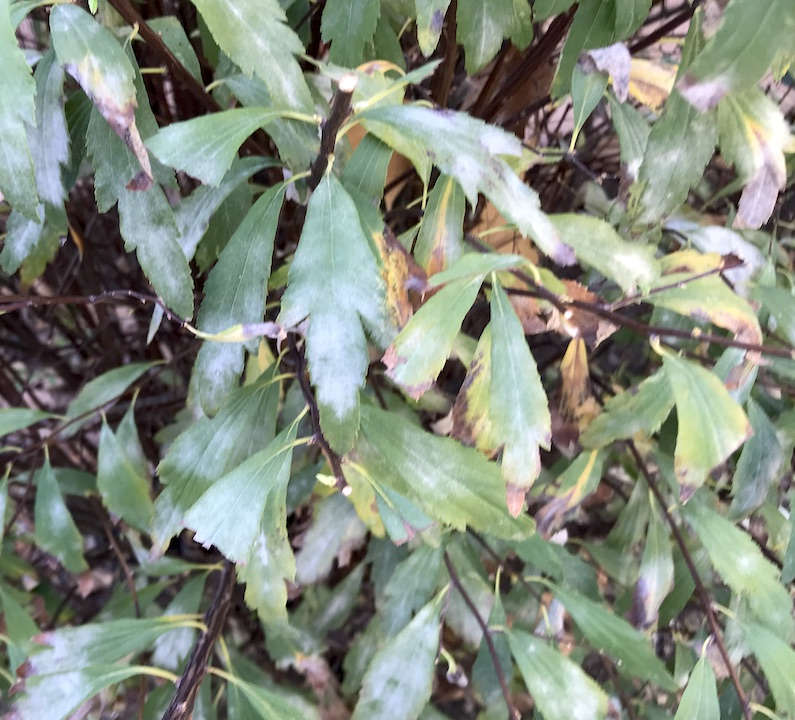 Oídio em grinalda-de-noiva (Spirea cantoniensis)