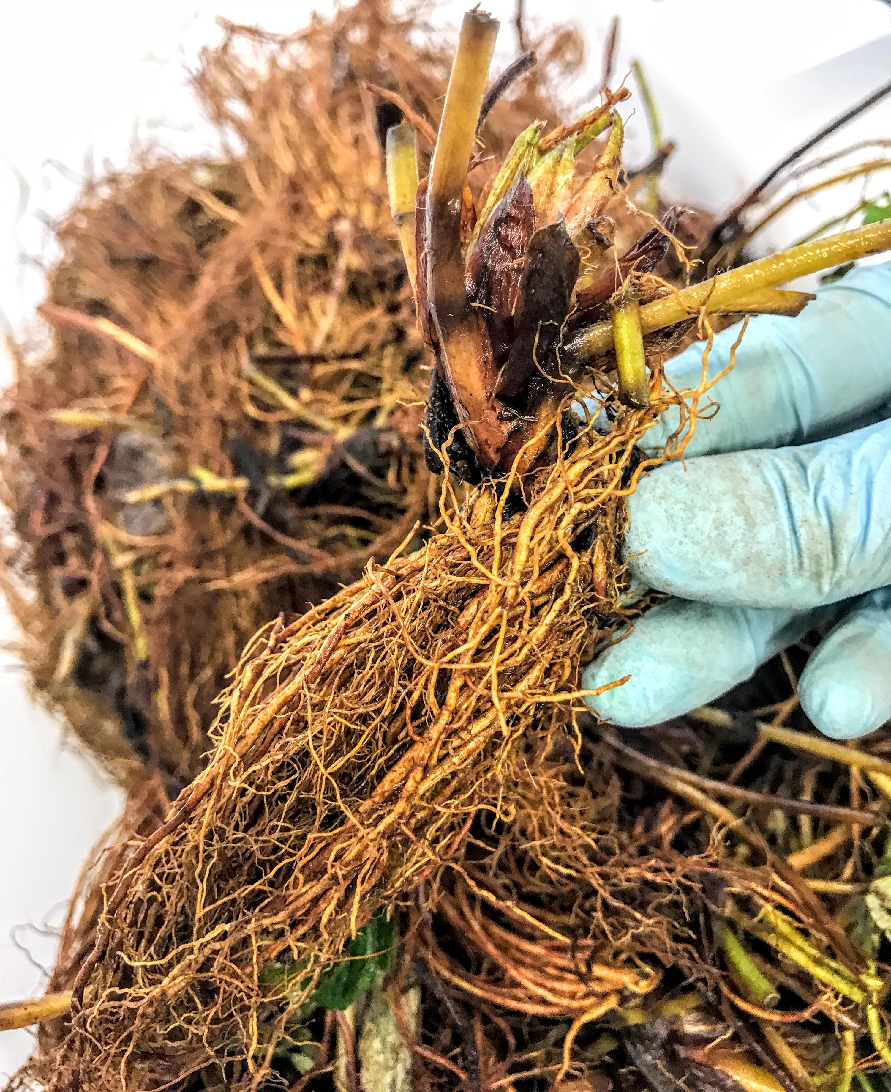 Mudas, raízes e bulbos importados