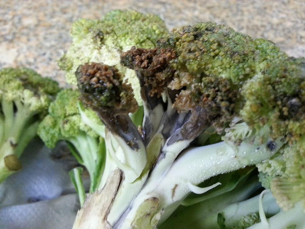Crestamento bacteriano do brócolis (Pseudomonas cichorii)