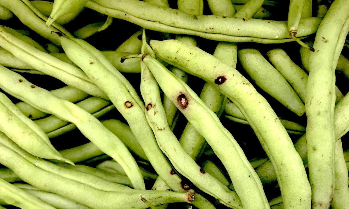 Antracnose (Colletotrichum lindemuthianum) em feijão-vagem