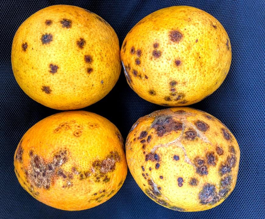 Leprose em laranjas de Rondônia