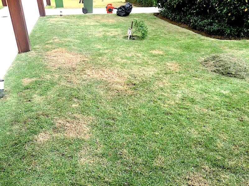 Queima-de-Curvularia em gramado em Porto Alegre, RS