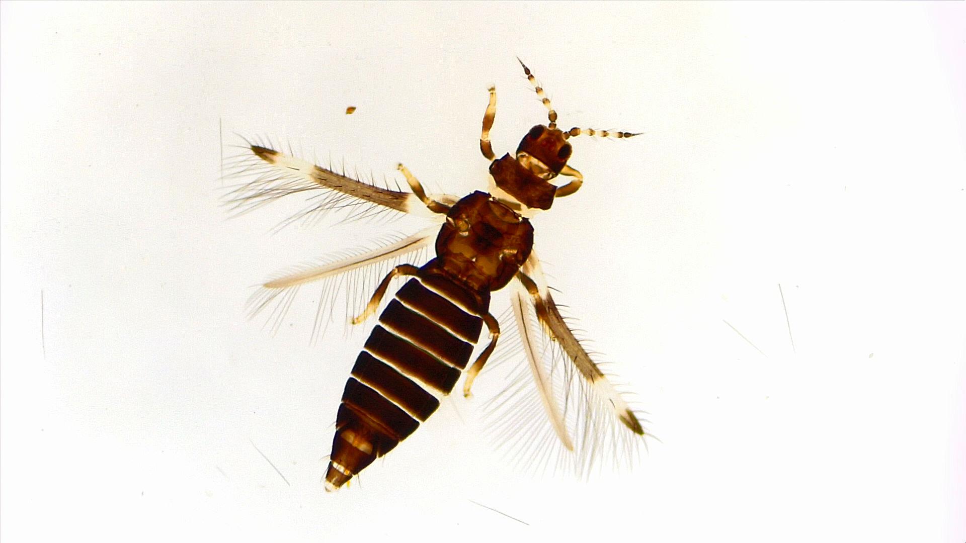 Caliothrips phaseoli em alface em Ivoti, RS