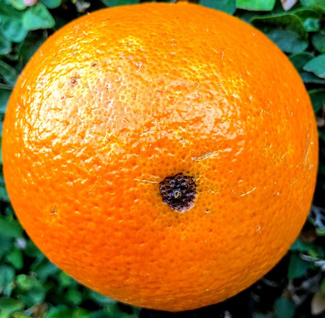 Lesão da mosca-das-frutas em laranjas