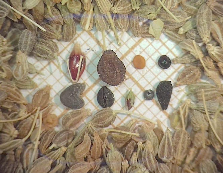 Sementes de plantas invasoras em erva-doce importada da Turquia