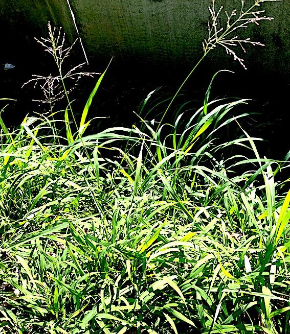 Panicum aquaticum e pulgão-do-milho