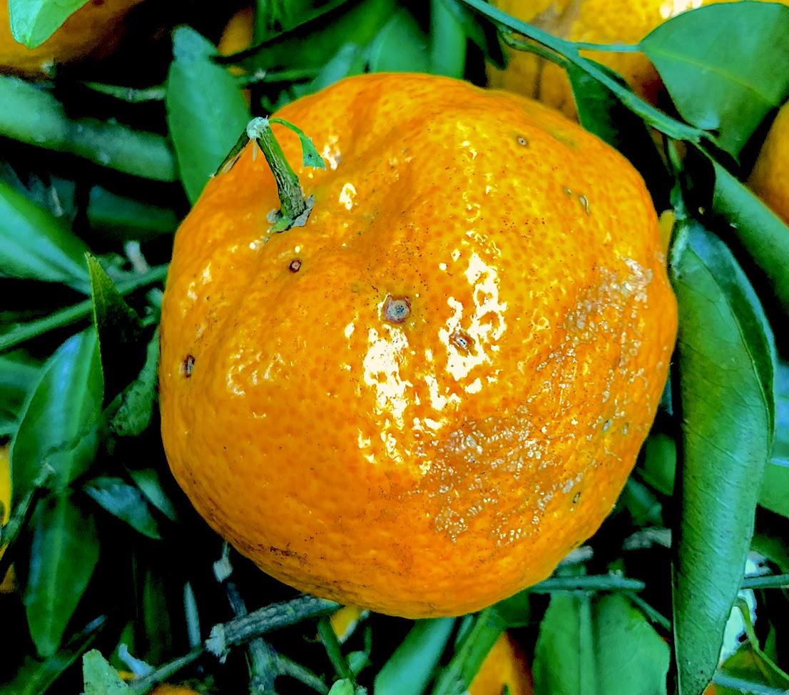 Phyllosticta citricarpa em tangerina