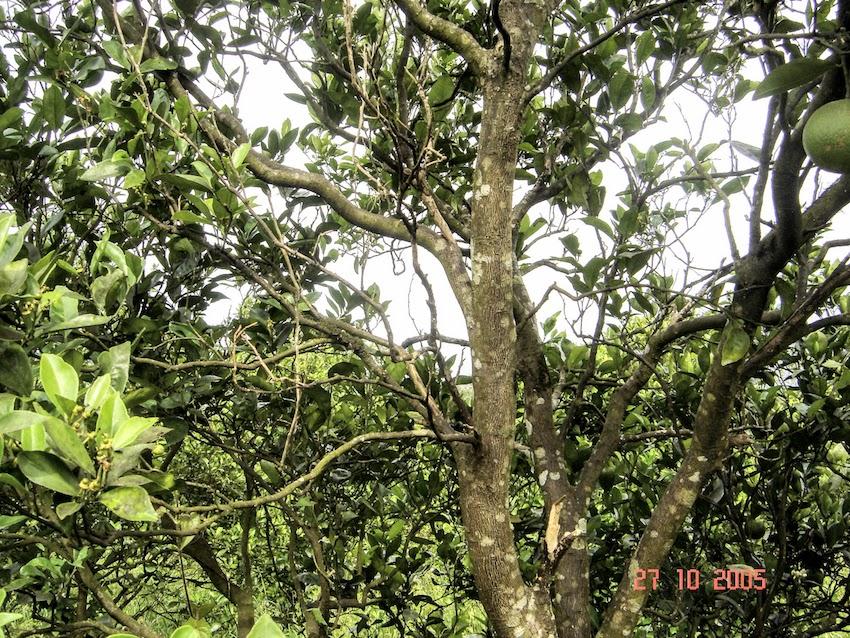 Rubelose em laranjeira, Harmonia, RS