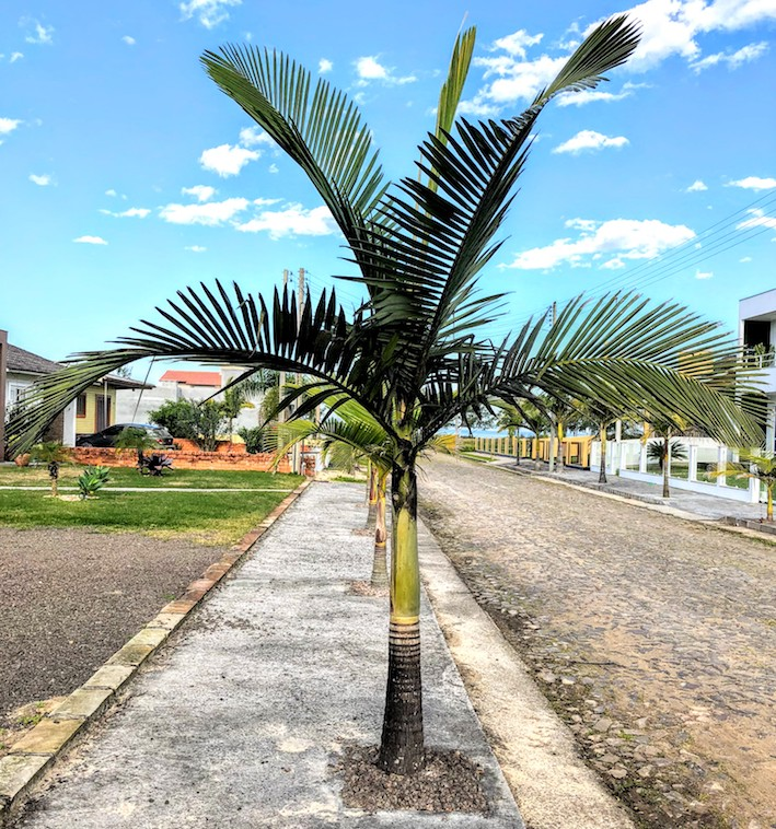Pulgão-preto-do-coqueiro e fumagina em palmeira-real