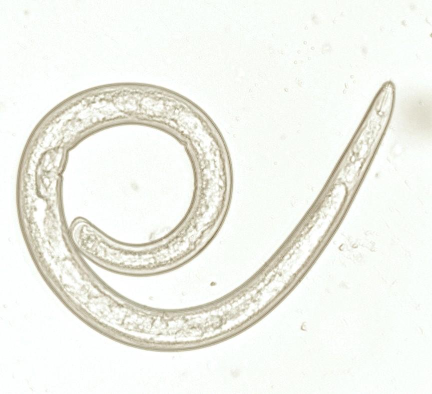 Scutellonema brachyurus em bulbos de amarílis