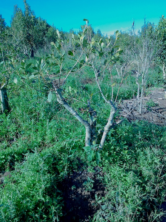 Morte de plantas de erva-mate por podridão radicular