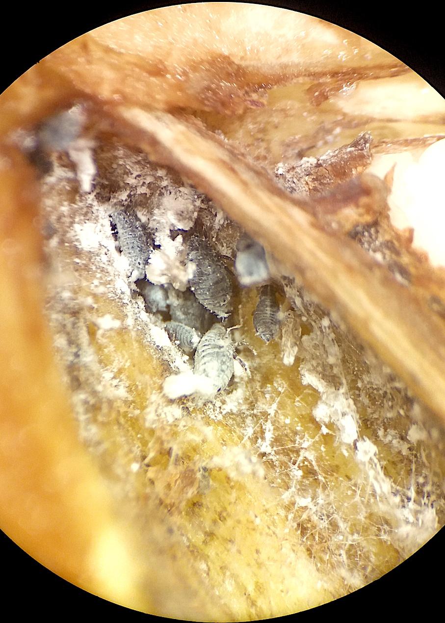 Eriosoma lanigerum em maçã do Chile