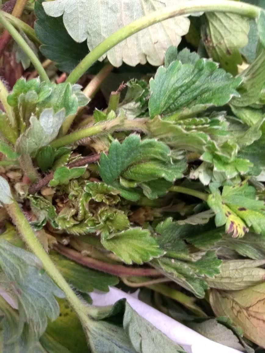 Nematoide foliar em morangueiro, Bom Repouso, MG