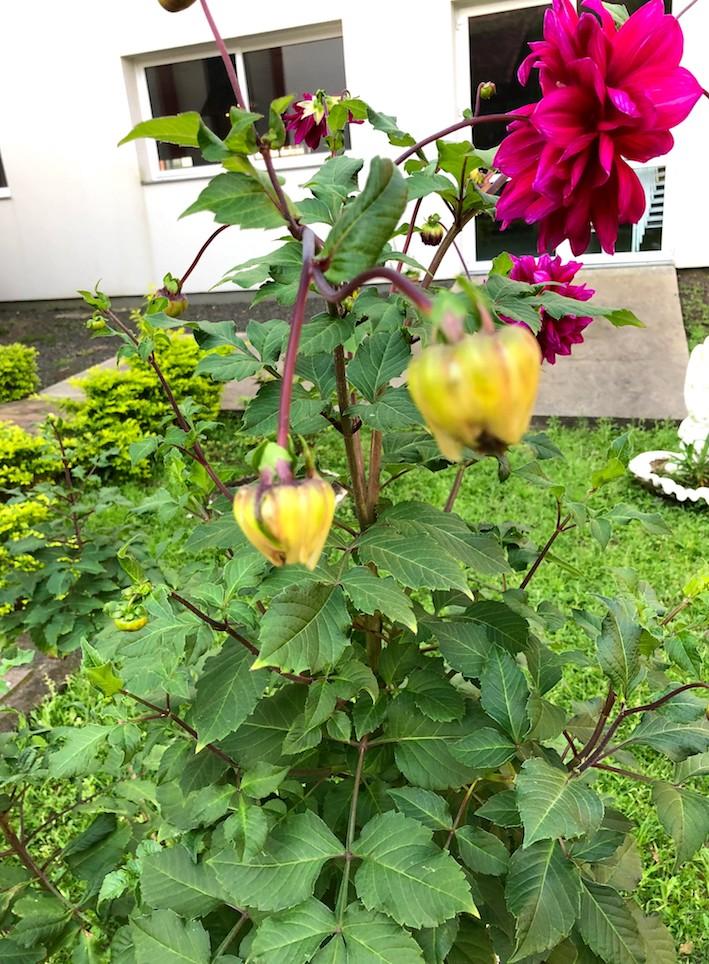 Dália (Dahlia sp.), ornamental da família Asteraceae