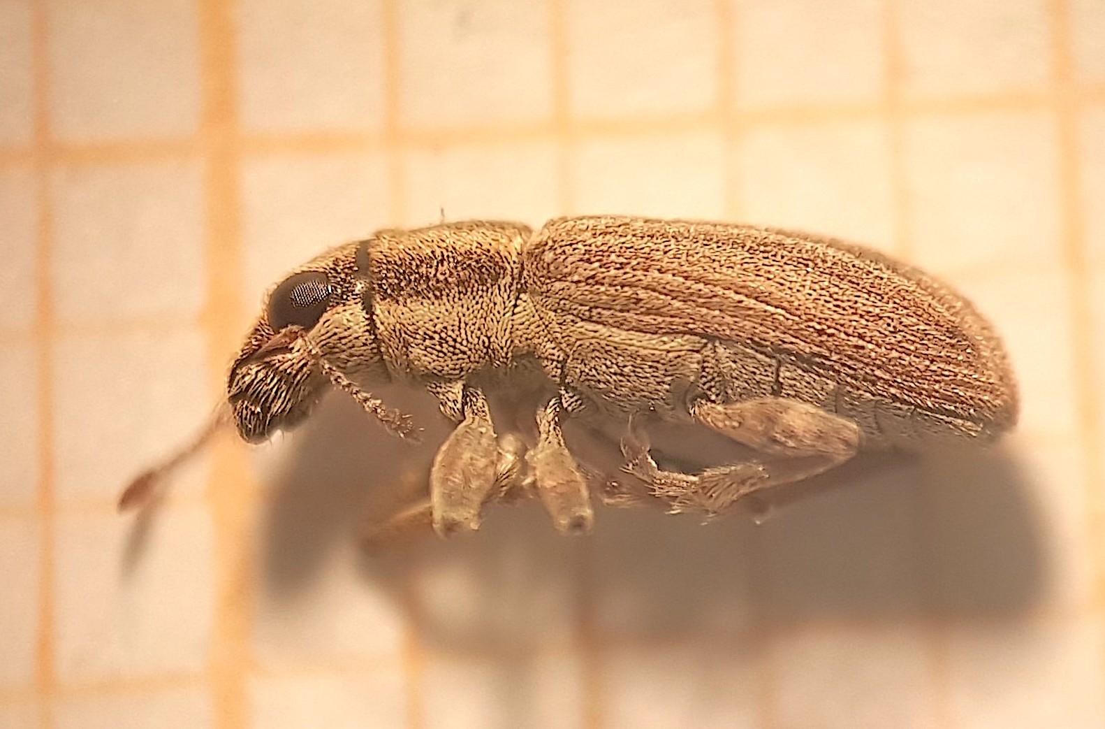 Sitona obsoletus (Coleoptera: Curculionidae) em embalagem de madeira da Espanha