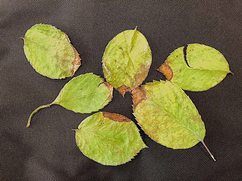 Toxidez de boro em folíolos de roseira