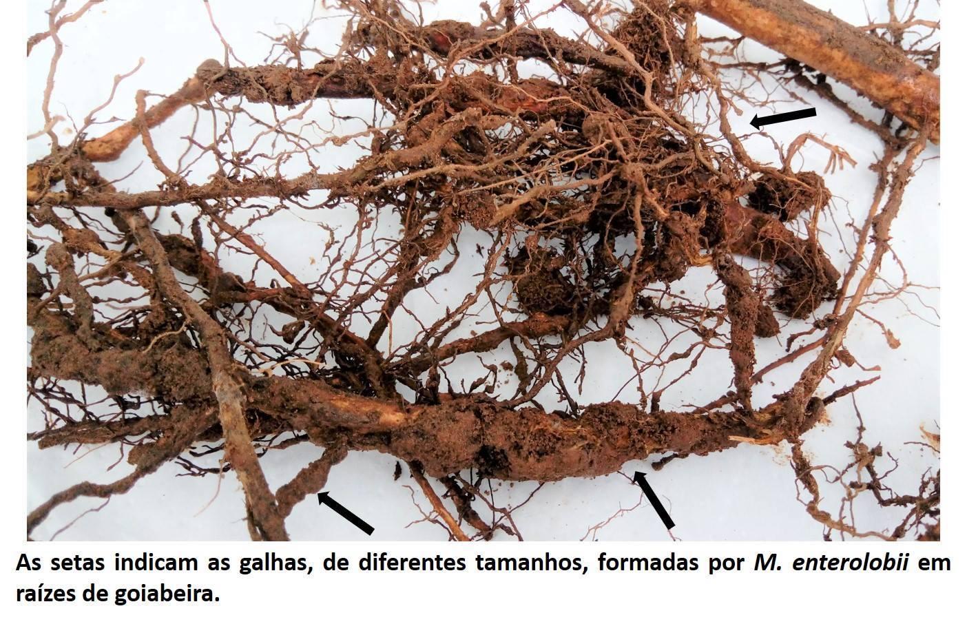 Nematoide limita produção da goiabeira!