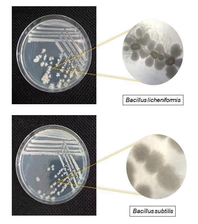 Diferenças entre colônias de Bacillus subtilis e B. licheniformis
