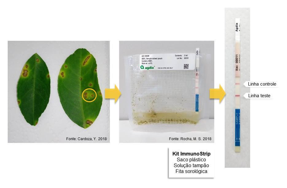 Fita imunológica na detecção do agente do Cancro Cítrico