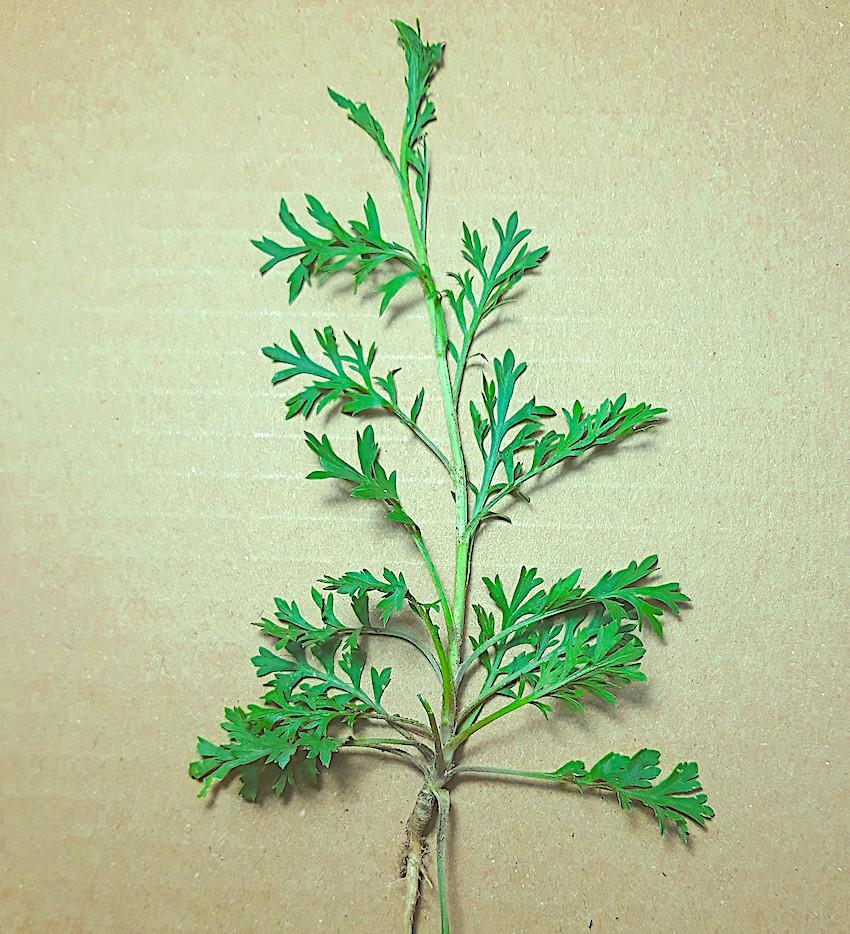 Plantas invasoras: Ambrosia elatior, Digitaria sanguinalis e Eleusina indica
