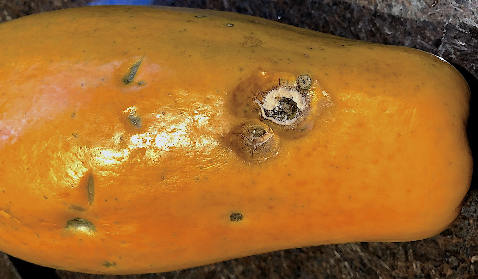 Asperisporium Black Spot of Papaya on Fruit
