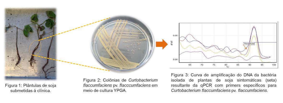 Morte de plântulas de soja: Bacterial Tan Spot