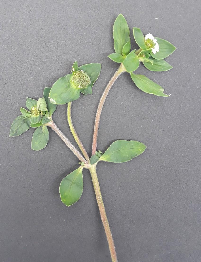 Brazilian pusley (Richardia brasiliensis)