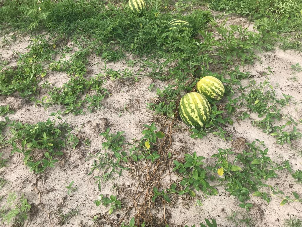 Murcha de fusarium em melancia, Jaguaruna, SC