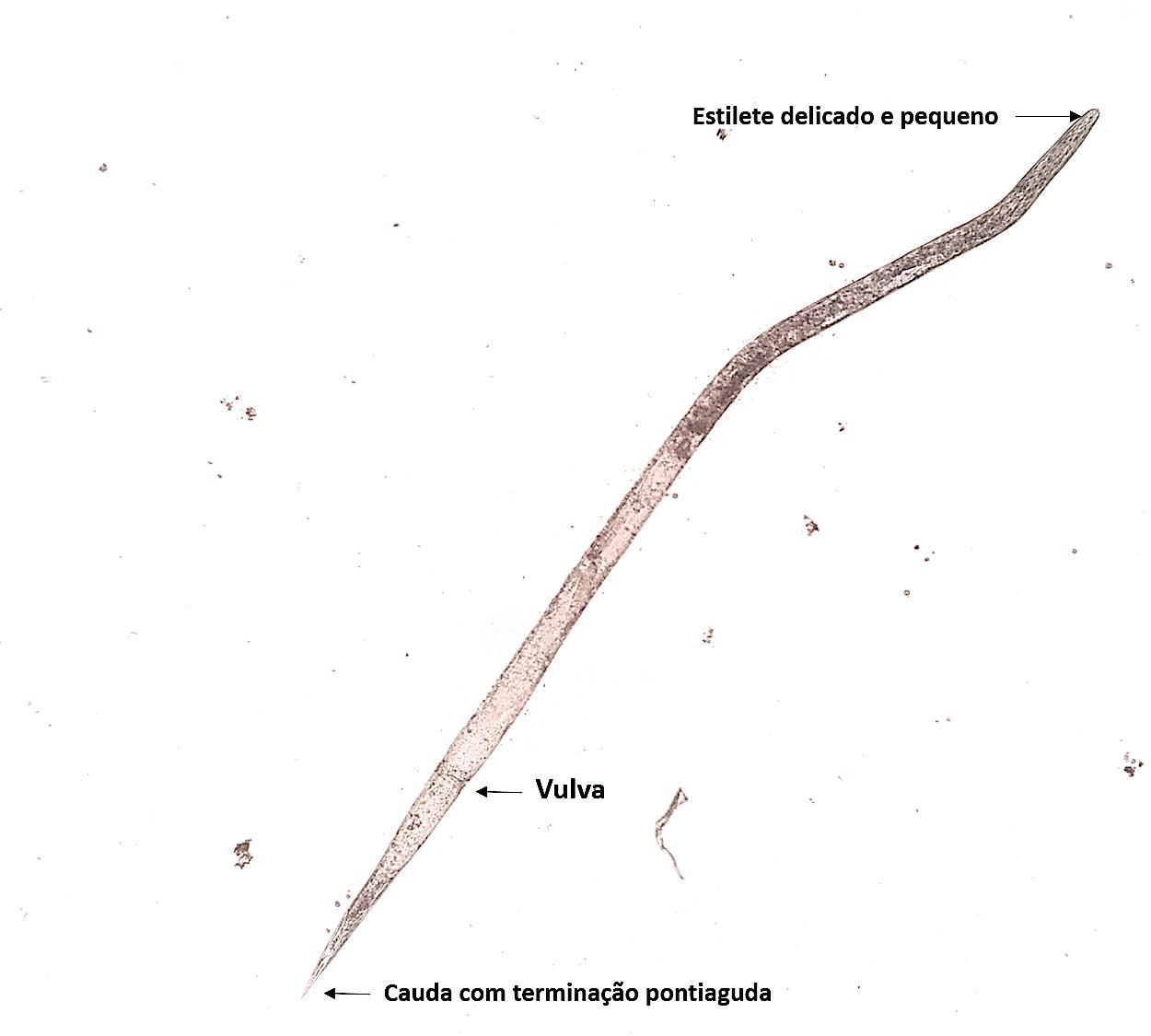 Interceptação de Ditylenchus dipsaci em batata-semente  importada