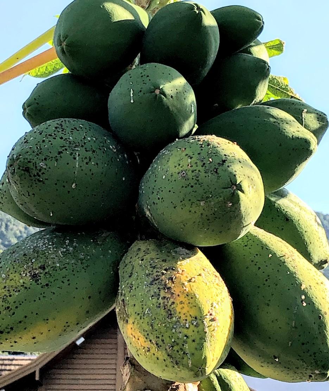 Meleira do mamoeiro / Papaya meleira virus