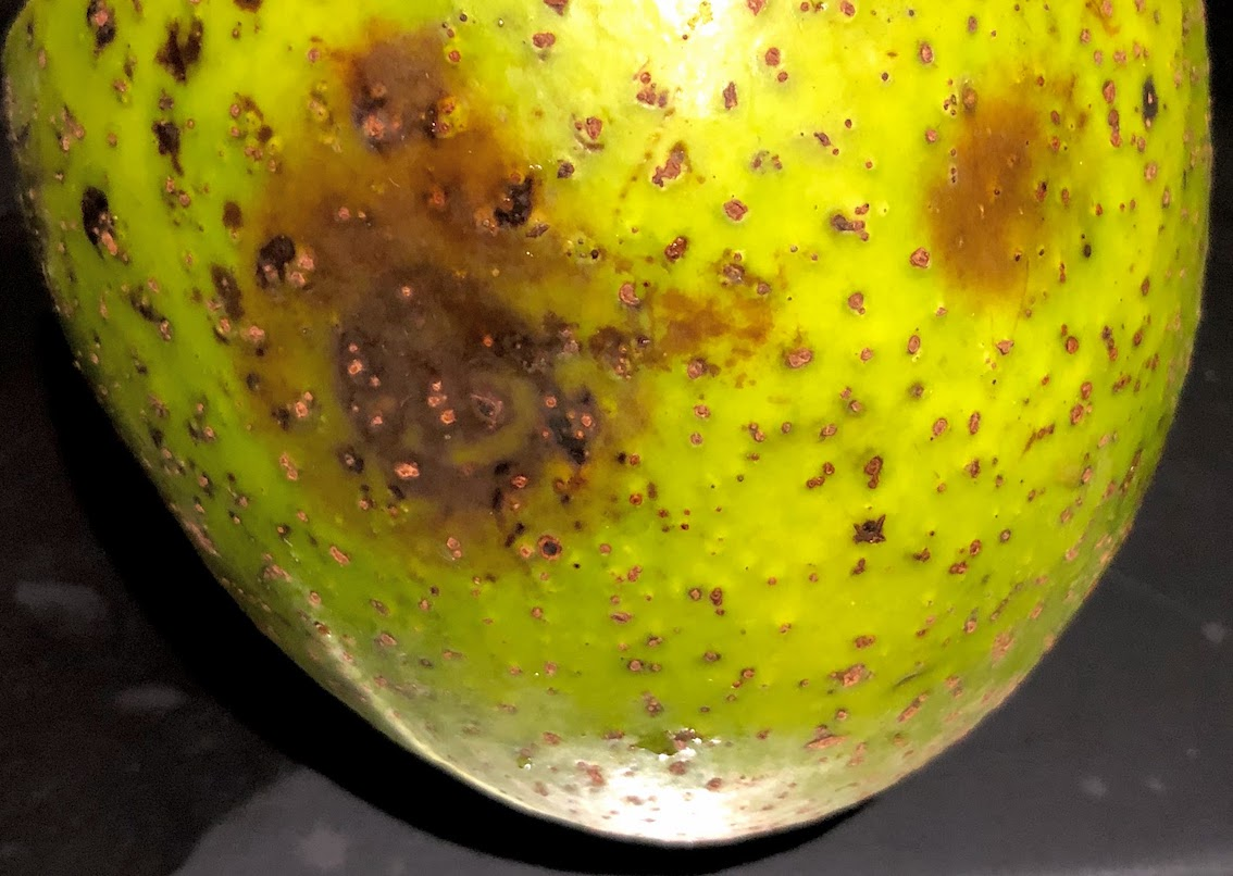 Antracnose em fruto de abacateiro / Anthracnose in avocado fruit