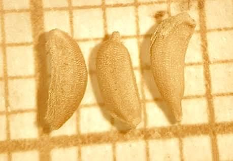 Falsa-serralha em sementes de cenoura oriundas da China