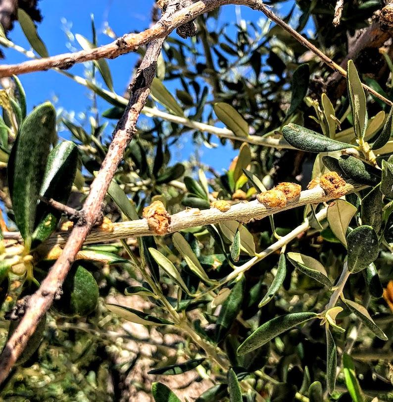 Olive knot on plant in San Giovanni Rotondo, Italy
