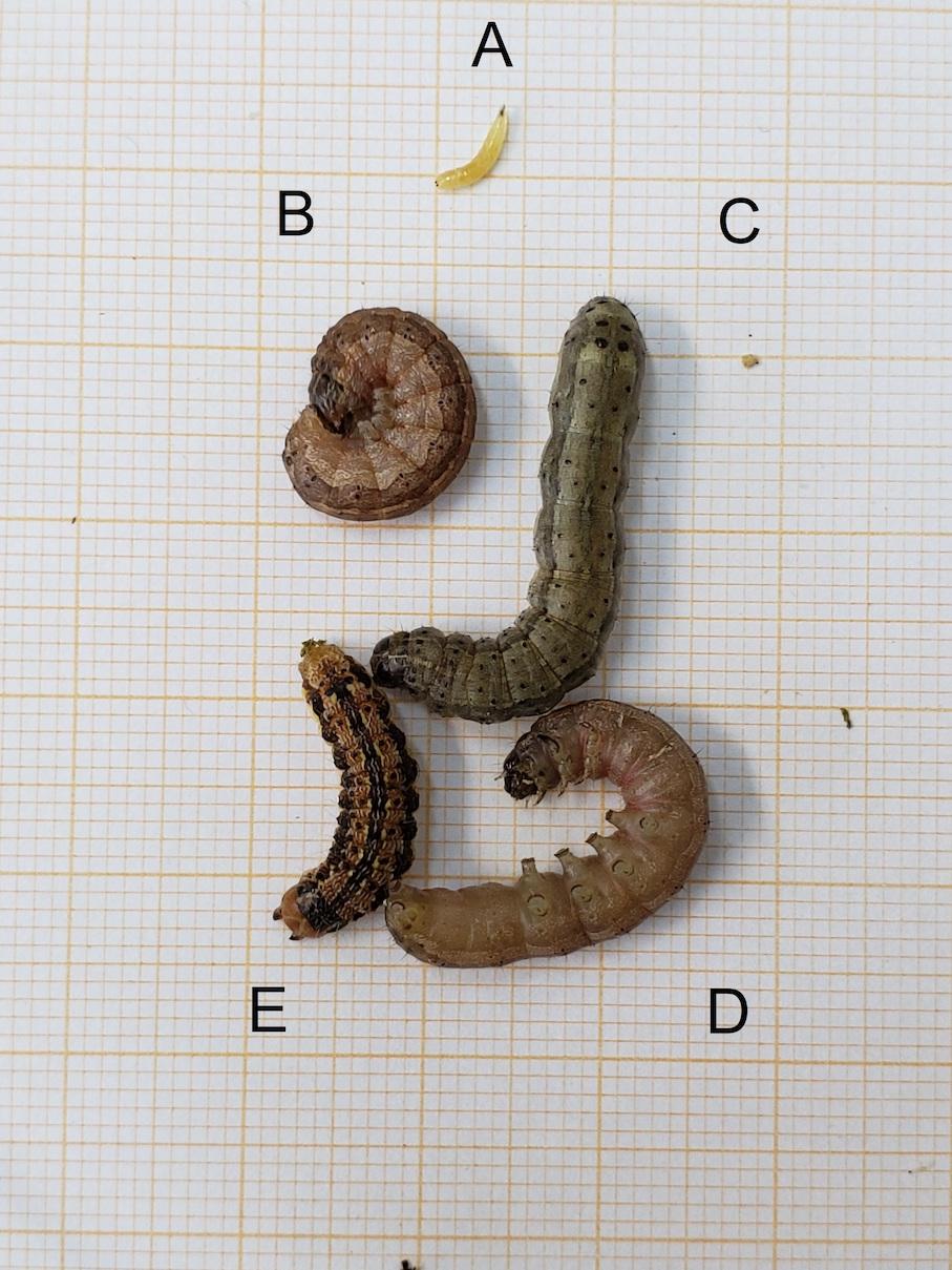Spodoptera frugiperda, Helicoverpa zea e Euxesta sp. em lavouras de milho em Santa Rosa, RS