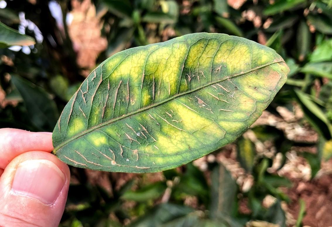 Sintoma de deficiência de boro em tangerina Piemonte