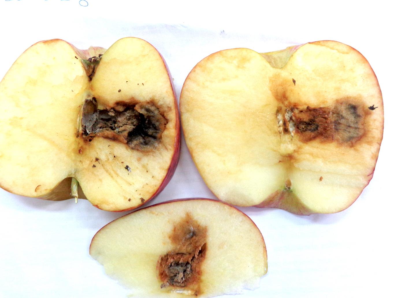 Podridão carpelar em maçãs oriundas da Argentina
