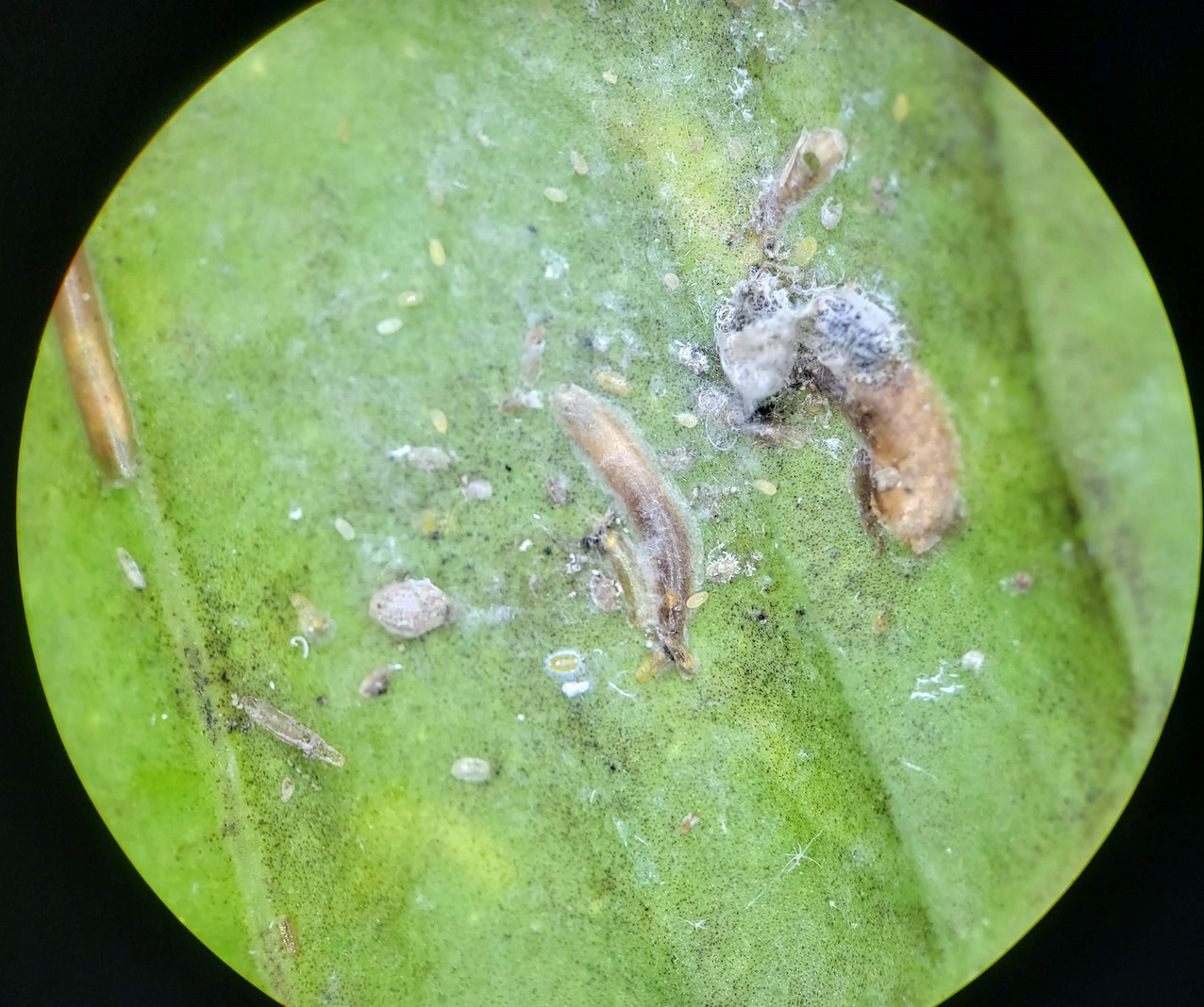Cochonilha-de-carapaça em folha de limão-cravo