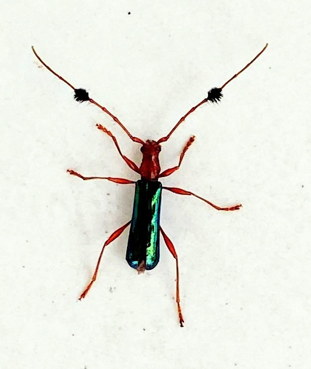 Longicorn Beetle (Cosmisoma chalybeipenne)