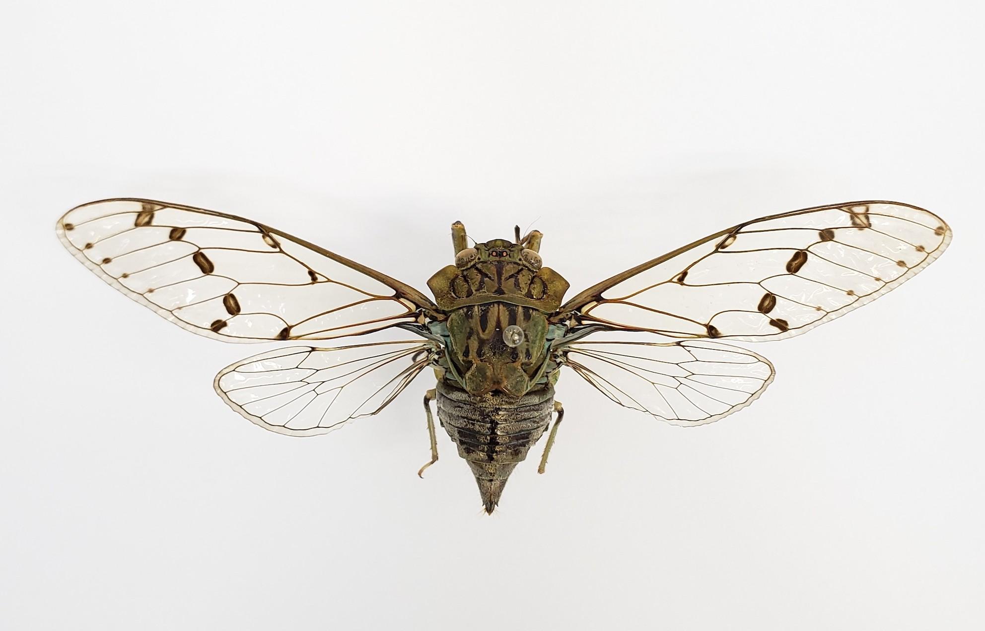 Green shield cicada (Zamara tympanum) in Teresópolis, Porto Alegre, RS, Brazil