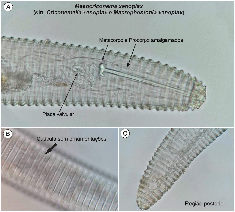 Nematoides em pessegueiro em Campestre da Serra, RS