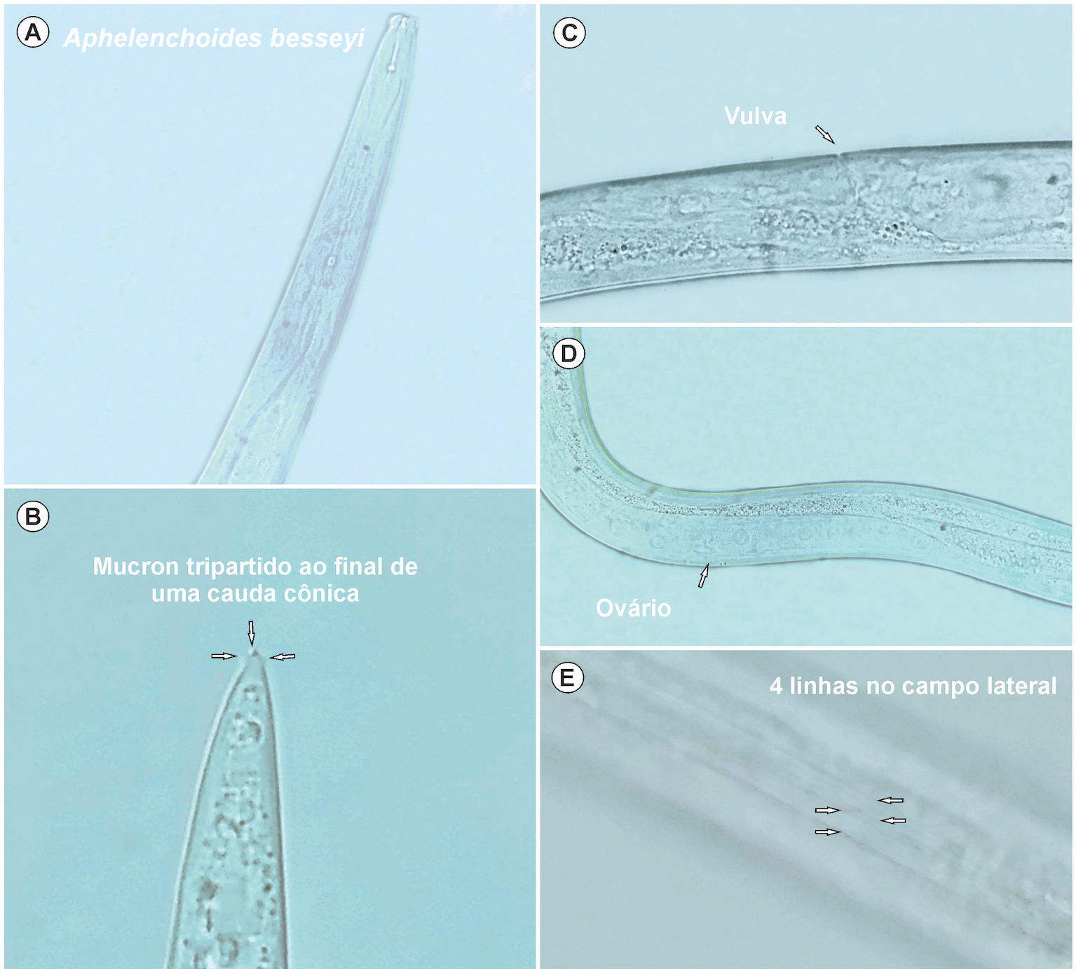 Detection of Aphelenchoides besseyi in Brachiaria seeds