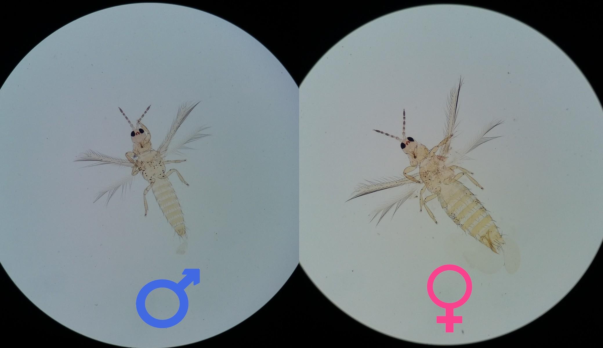 Adultos de Thrips palmi karny (Thysanoptera: Thripidae) detectados em abobrinha Itália!