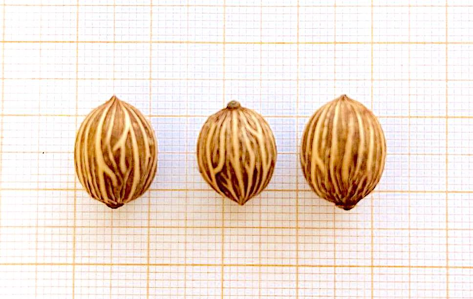 Características das sementes da palmeira-real-australiana