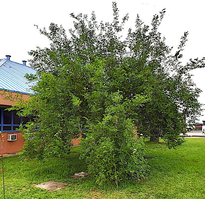 Amoreira (Morus nigra) no ano internacional da saúde de plantas!