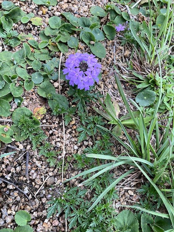 Glandulária: Flores minúsculas, lilás a roxas, em inflorescências nos gramados...